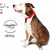 American Staffordshire Terrier Mix Dog for adoption in Los Angeles, California - Vinny