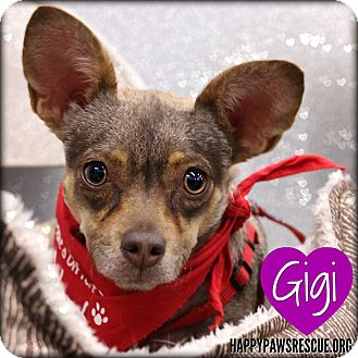 Chihuahua/Miniature Pinscher Mix Dog for adoption in South Plainfield, New Jersey - Gigi