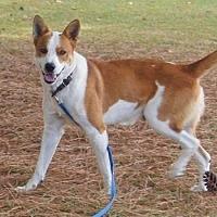 Labrador Retriever/Hound (Unknown Type) Mix Dog for adoption in Norfolk, Virginia - FOSTER HOMES NEEDED!!