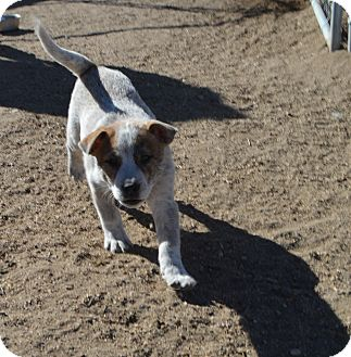 Blue Heeler/Catahoula Leopard Dog Mix Puppy for adoption in Peyton, Colorado - Toby