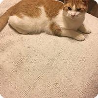 Adopt A Pet :: Ozzie - Columbus, OH