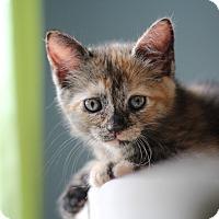 Adopt A Pet :: Spritz - Richmond, VA