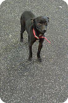 Mixed Breed (Small) Mix Dog for adoption in Meridian, Idaho - Cheeto