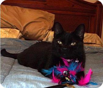 Domestic Shorthair Cat for adoption in Monroe, North Carolina - Lady Bug