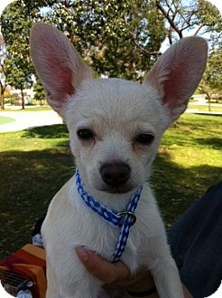 Chihuahua/Terrier (Unknown Type, Small) Mix Puppy for adoption in Irvine, California - CASPER HW