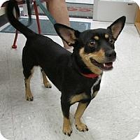 Adopt A Pet :: Scooter - Gilbert, AZ
