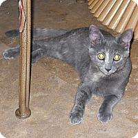 Adopt A Pet :: Tortoiseshell kittens - Scottsdale, AZ
