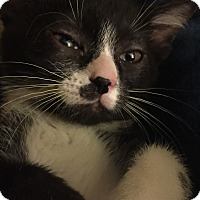 Adopt A Pet :: Lily (bottle fed) - Sterling Hgts, MI