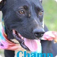Adopt A Pet :: Champ - Orangeburg, SC