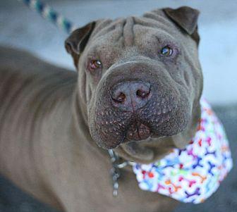 Shar Pei Dog for adoption in Canoga Park, California - Mr. Magoo