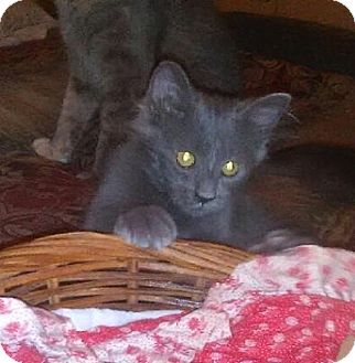 Domestic Mediumhair Kitten for adoption in Tampa, Florida - Ruger
