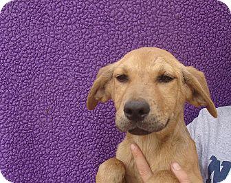 Labrador Retriever/Golden Retriever Mix Puppy for adoption in Oviedo, Florida - Fenway