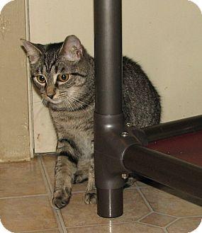 Domestic Shorthair Kitten for adoption in Spring Grove, Pennsylvania - Unice (teenage female))