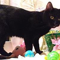 Adopt A Pet :: Sir. Tomasso - Houston, TX