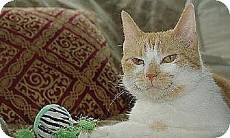 Domestic Shorthair Cat for adoption in New York, New York - Pumpkin (Westhampton)