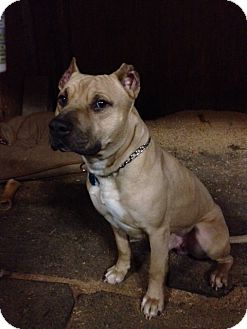American Pit Bull Terrier Mix Dog for adoption in Bellingham, Washington - Scrappy