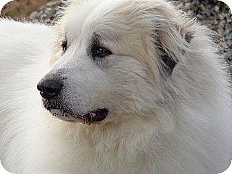 Great Pyrenees Dog for adoption in Lee, Massachusetts - Jazper - NY