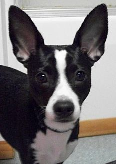 Boston Terrier Mix Dog for adoption in Mtn Grove, Missouri - Tank