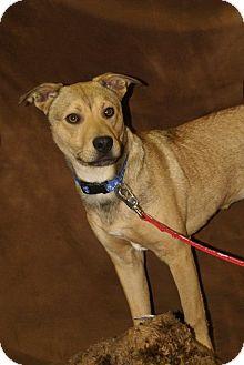 Terrier (Unknown Type, Medium) Mix Dog for adoption in Hawk Point, Missouri - Wyatt
