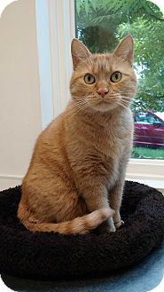 Domestic Shorthair Cat for adoption in Chicago, Illinois - Zoltar