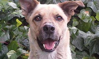 Shepherd (Unknown Type)/Boxer Mix Dog for adoption in Rancho Santa Margarita, California - ZZ-Pete *courtesy post