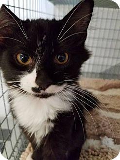 Domestic Mediumhair Kitten for adoption in Umatilla, Florida - Jesse