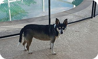 Chihuahua Mix Dog for adoption in Cape Coral, Florida - Rosie