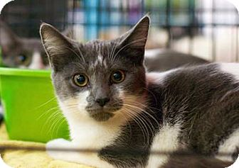 Domestic Shorthair Cat for adoption in Troy, Michigan - Roni