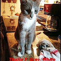 Adopt A Pet :: Thalia - Brandon, FL
