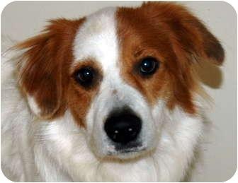 Shepherd (Unknown Type)/Brittany Mix Dog for adoption in Phoenix, Arizona - Zeus