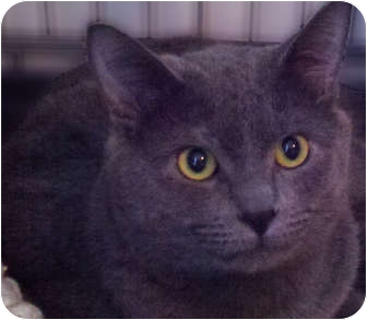 Domestic Shorthair Cat for adoption in Chicago, Illinois - Dorian