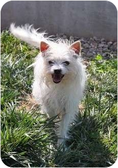 Westie, West Highland White Terrier/Terrier (Unknown Type, Small) Mix Dog for adoption in Los Angeles, California - SANDY
