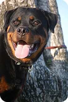 Rottweiler Dog for adoption in Altadena, California - Bruno
