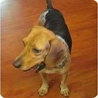 Adopt A Pet :: Lil Sweet Pea - Indianapolis, IN