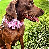 Adopt A Pet :: Holly - Silsbee, TX