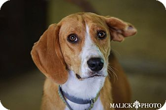 English (Redtick) Coonhound/Beagle Mix Dog for adoption in Sharon Center, Ohio - Anna