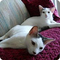 Adopt A Pet :: 3 AFFECTIONATE CATS! Stunning! - New Smyrna Beach, FL