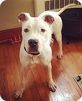 Boxer/American Bulldog Mix Dog for adoption in Chicago, Illinois - Coconut