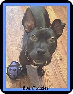 Pit Bull Terrier Mix Dog for adoption in Memphis, Tennessee - Bud Frazier
