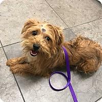 Adopt A Pet :: Olive - beverly hills, CA
