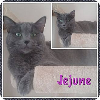 Domestic Shorthair Kitten for adoption in Cedar Springs, Michigan - Jejune