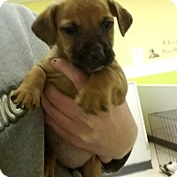 Boxer Mix Puppy for adoption in Cherry Hill, New Jersey - Olita