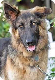 German Shepherd Dog Dog for adoption in Los Angeles, California - Tiger von Badour