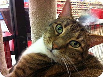 Domestic Shorthair Cat for adoption in Warminster, Pennsylvania - Marley