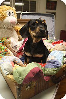 Dachshund Mix Dog for adoption in Marietta, Georgia - Jase