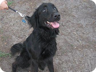 Flat-Coated Retriever Mix Dog for adoption in Jacksonville, Florida - Vadar