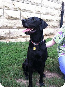 Labrador Retriever Dog for adoption in Fort Riley, Kansas - Abigail