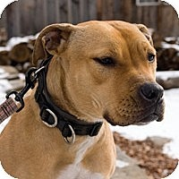 American Staffordshire Terrier/Labrador Retriever Mix Dog for adoption in New York, New York - Hunney