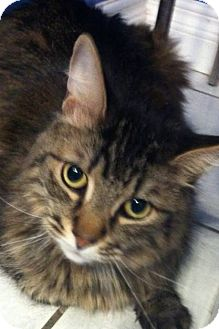 Domestic Mediumhair Cat for adoption in Brampton, Ontario - Felix