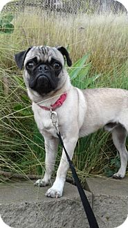 Pug Puppy for adoption in Corona, California - ROCKY